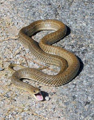 snake-1524142
